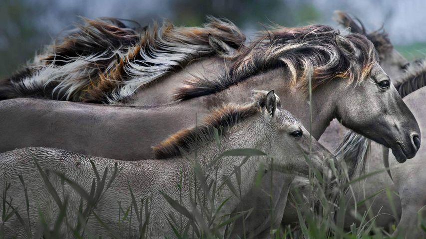 Konik-Pferde im Naturentwicklungsgebiet Oostvaardersplassen, Niederlande