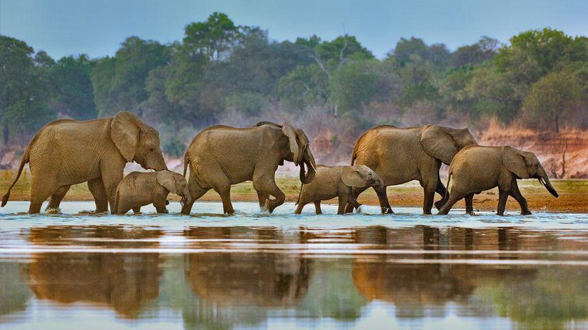 Eine Elefantenherde überquert den Luangwa-Fluss in Sambia