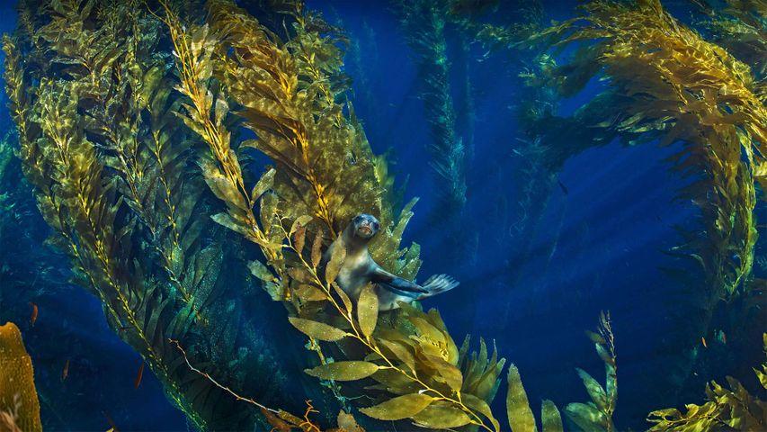 Kalifornischer Seelöwe in einem Tangwald in der Nähe der Kanalinseln von Kalifornien, USA
