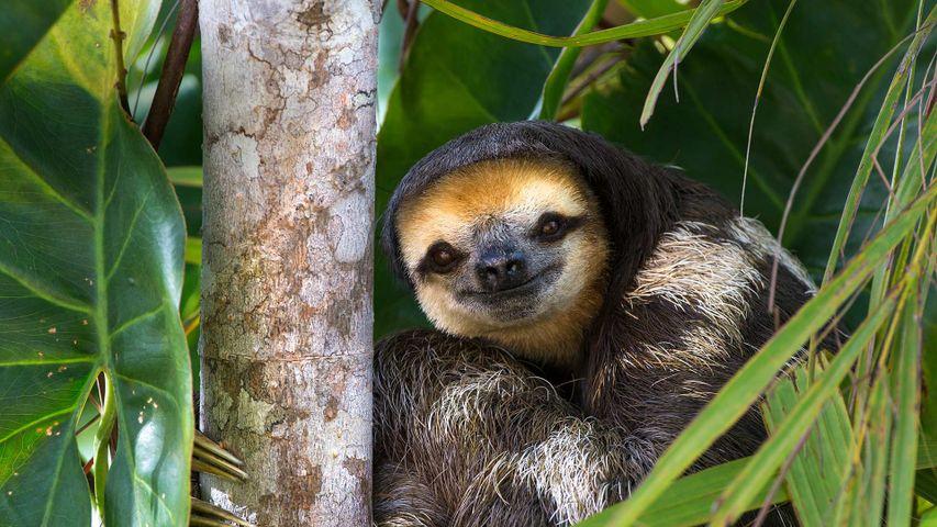 Weißkehl-Faultier auf Sloth Island, Guyana