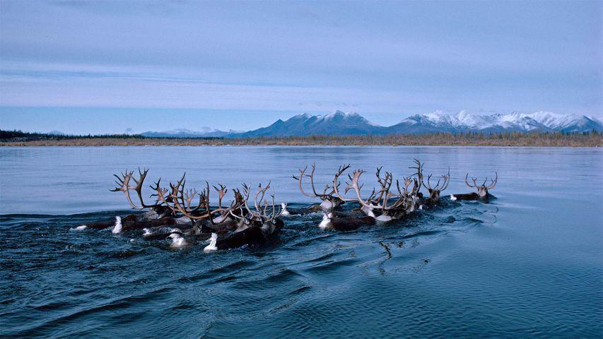 Rentiere durchschwimmen auf ihrer Herbstwanderung den Kobuk River in Alaska, USA