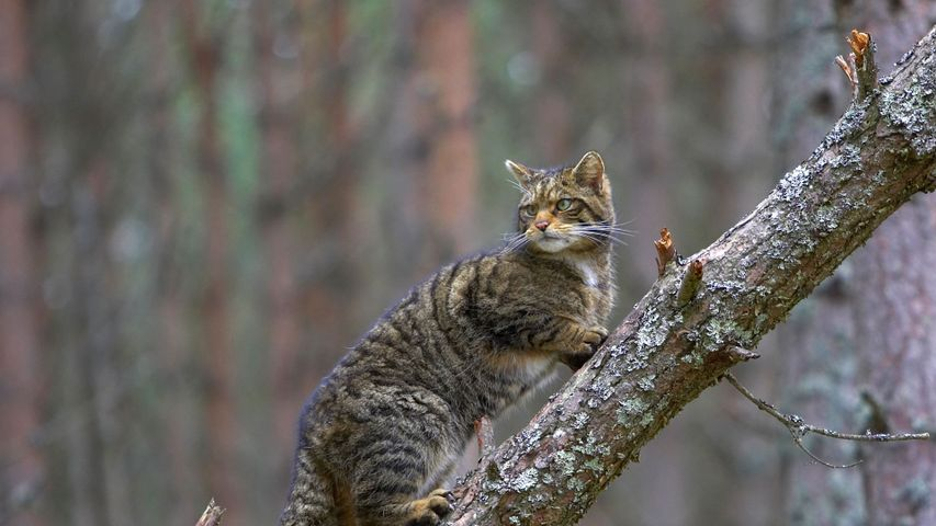 Eine Europäische Wildkatze im Cairngorms-Nationalpark, Schottland