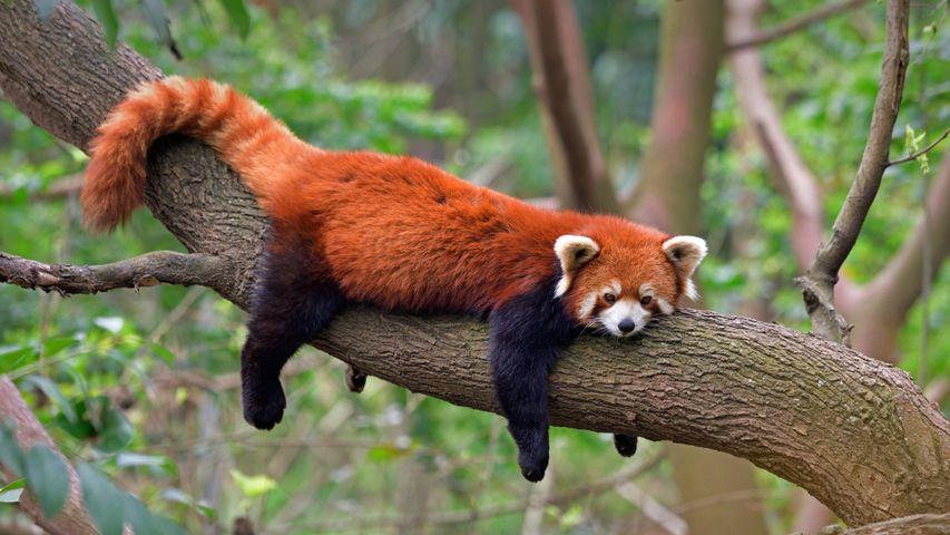 Kleiner Panda, Chengdu Panda Base, Provinz Sichuan, Volksrepublik China