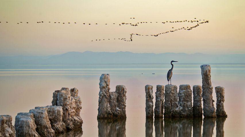 Ein Reiher hockt auf einem Pfahl am Saltonsee in Kalifornien, USA