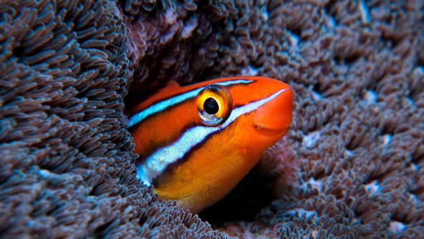 Blaustreifen-Säbelzahnschleimfisch im Indischen Ozean