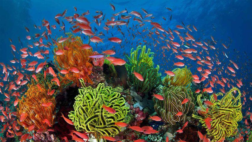 Ein Schwarm Juwelen-Fahnenbarsche in einem Korallenriff mit Haarsternen, Great Barrier Reef, Queensland, Australien