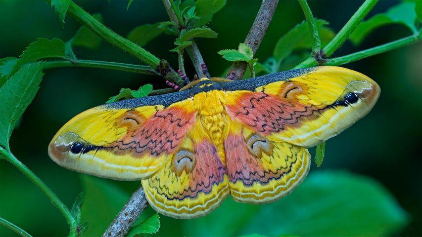 Ein Exemplar der Nachtfalter-Art Loepa oberthuri