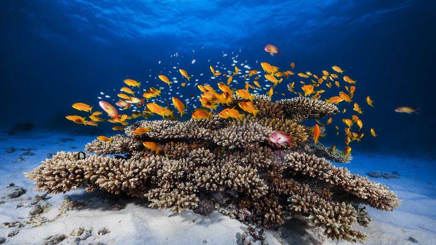 Ein Juwelen-Fahnenbarsch-Schwarm (Pseudanthias squamipinnis) schwimmt über einer Koralle, Mayotte, Indischer Ozean