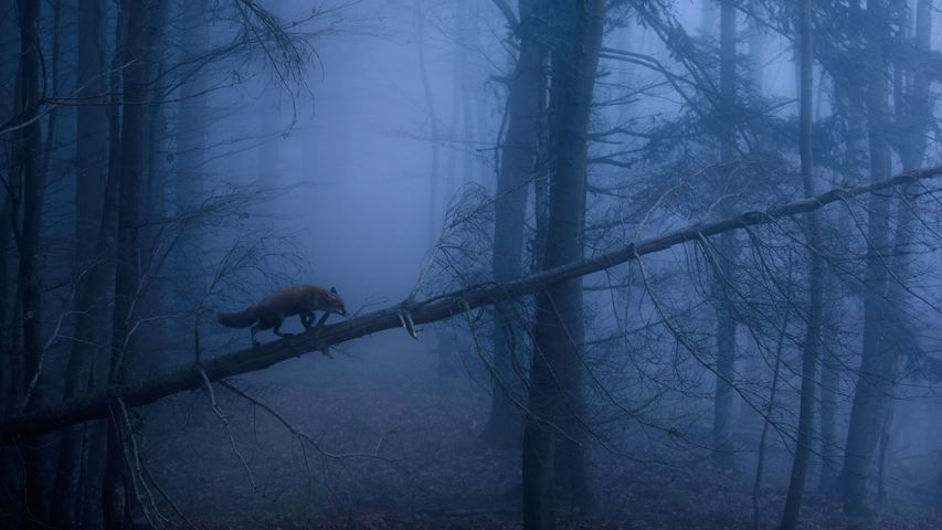 Rotfuchs im Schwarzwald