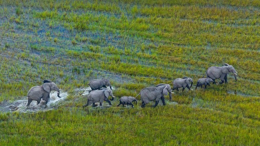 Afrikanische Buschelefanten-Herde, Okavango-Delta, Botswana