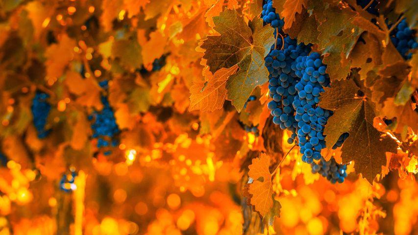 Weintrauben an der Rebe, Mendoza, Argentinien, anlässlich des Nationalen Traubenerntefests