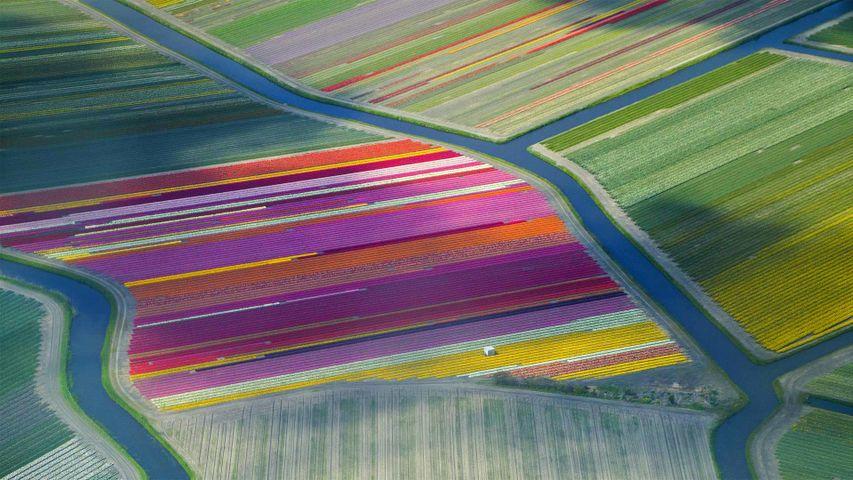 Tulpenfelder in der Blumenzwiebelregion Duin- en Bollenstreek, Provinz Südholland, Niederlande. Zum Tulpenfestival in Amsterdam