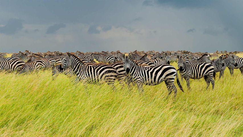 Zebras im Serengeti-Nationalpark, Tansania