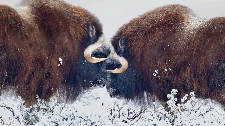 Moschusochsen in der Nähe von Prudhoe Bay, Alaska, USA