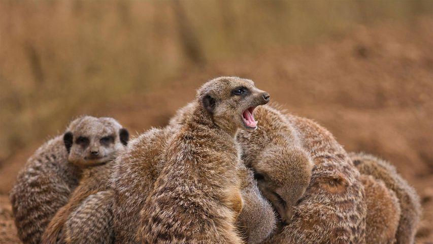 Erdmännchenfamilie kauert sich zusammen