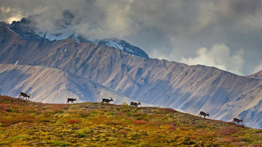 Karibus im Denali-Nationalpark, Alaska, USA