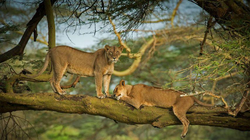 Löwinnen in einem Wald am Nakurusee, Kenia
