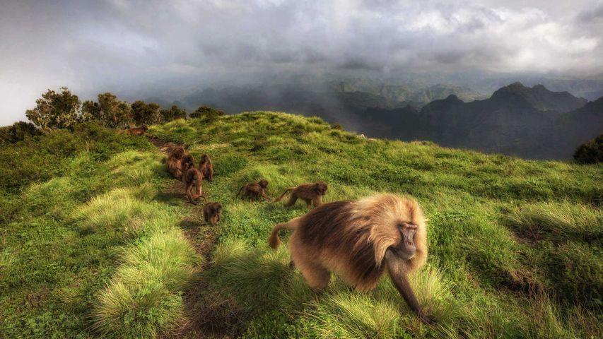Dscheladas im Simien-Nationalpark, Äthiopien