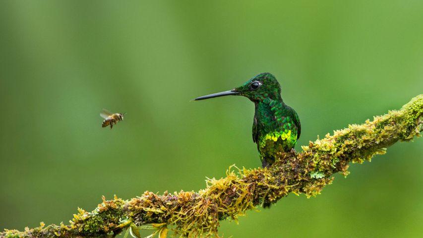 Rotstern-Brillantkolibri und Biene, Kolumbien