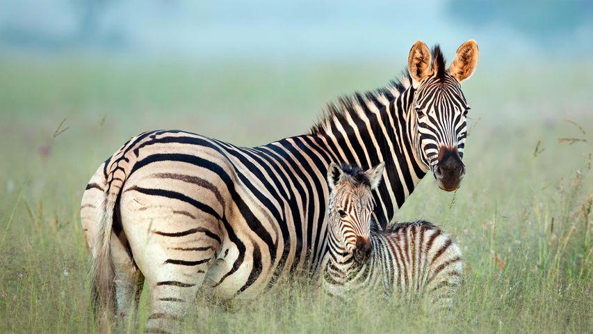 Weibliches Burchell-Zebra mit seinem Fohlen im Rietvlei Nature Reserve, Südafrika