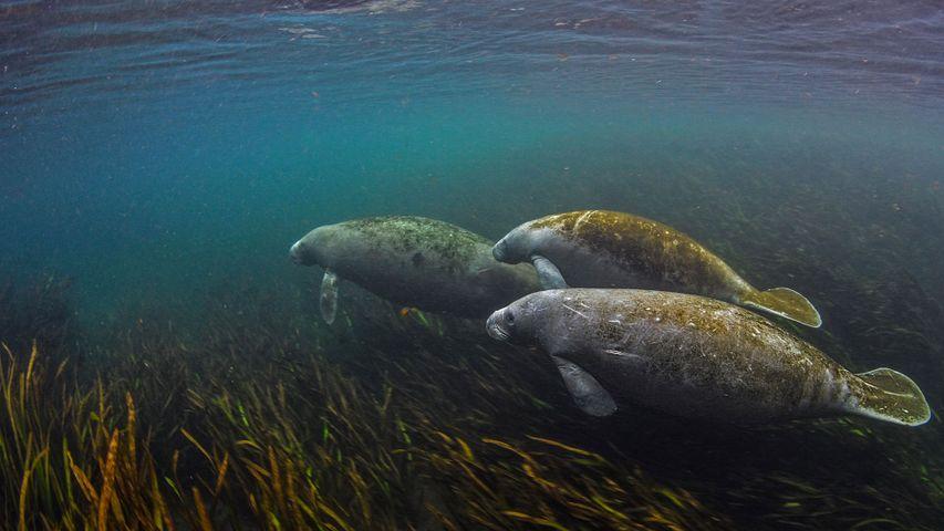 Seekühe im Ichetucknee River in Florida