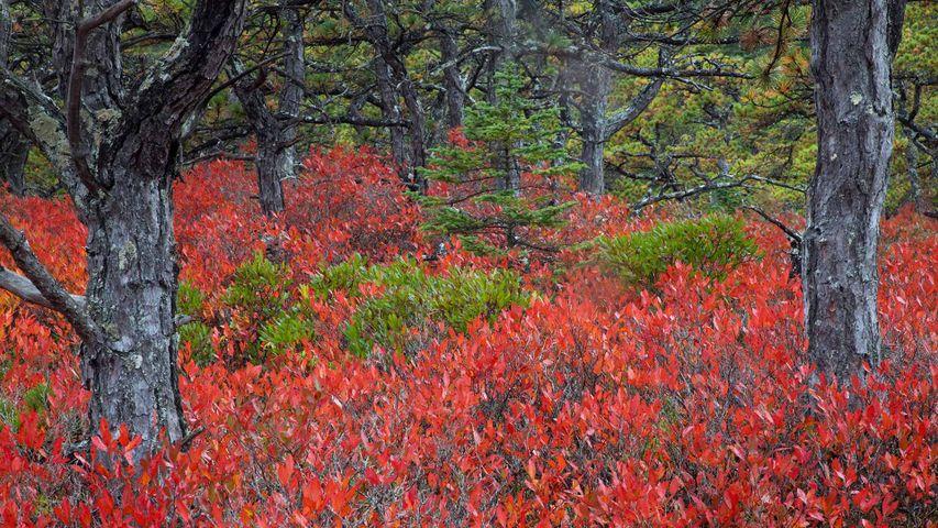 Heidelbeersträucher im Acadia-Nationalpark, Maine, USA