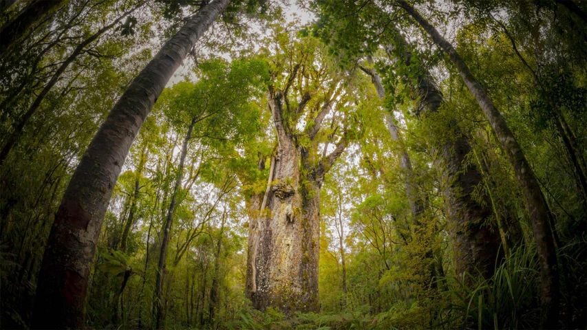 Te Matua Ngahere, ein riesiger Kauri-Baum im Waipoua Forest, Northland Region, Neuseeland