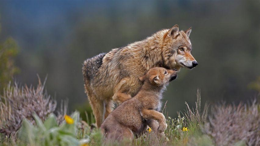 Wolf und Wolfswelpe, Montana, USA