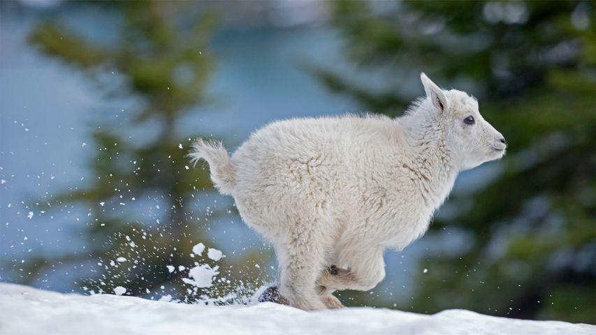 Junge Schneeziege im westlichen Montana, USA