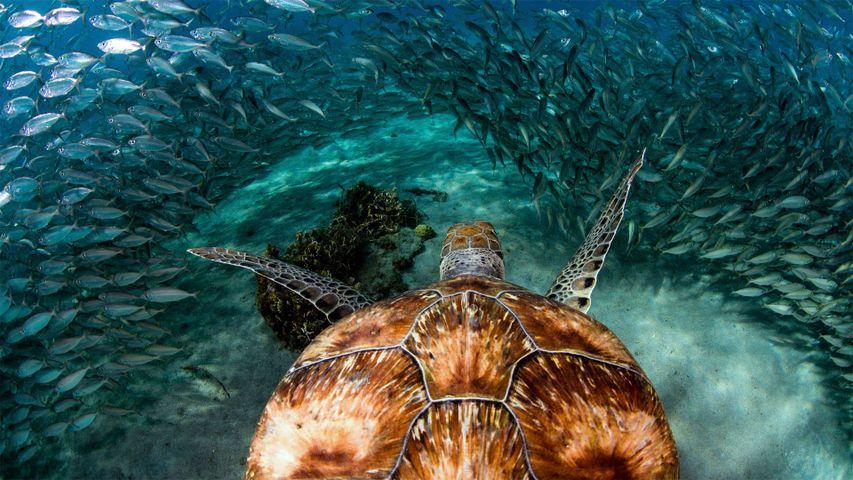 Grüne Meeresschildkröte in einem Sardinen-Schwarm nahe Playa Grandi Beach, Curaçao