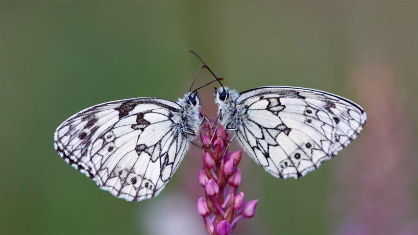 Schachbrett-Schmetterlingspaar (Melanargia galathea), Elsass, Frankreich