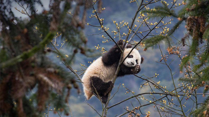 Riesenpanda-Junges, Bifengxia-Zuchtstation, Provinz Sichuan, Volksrepublik China